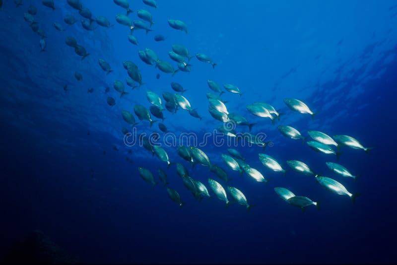 Zilveren vissen stock afbeeldingen