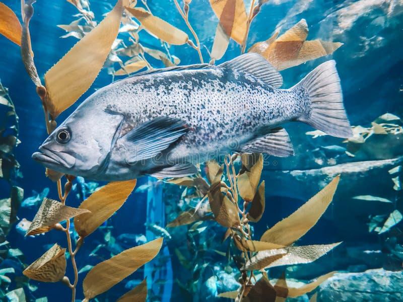 Zilveren vissen in wateraquarium stock foto