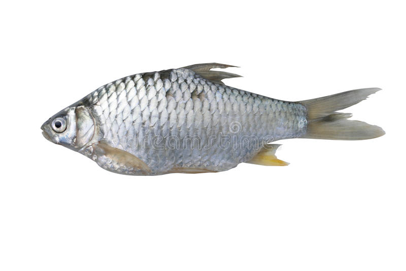 Zilveren weerhaakvissen royalty-vrije stock fotografie