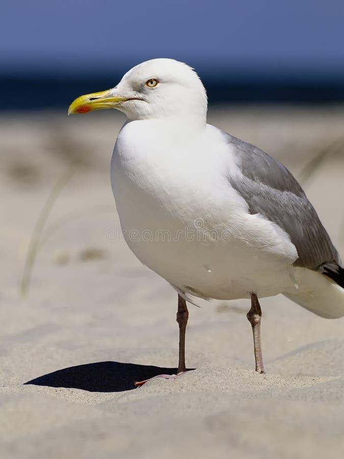 Zilveren zeemeeuw op strand royalty-vrije stock foto