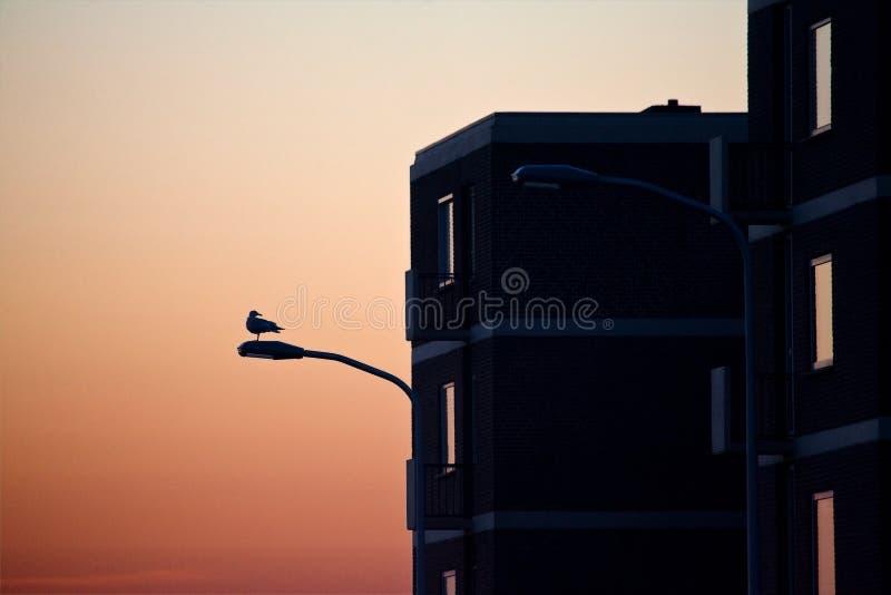 Zilvermeeuw, Herring Gull, Larus argentatus. Zilvermeeuw in de stad in avondlicht; Herring Gull in city at sundown stock photos