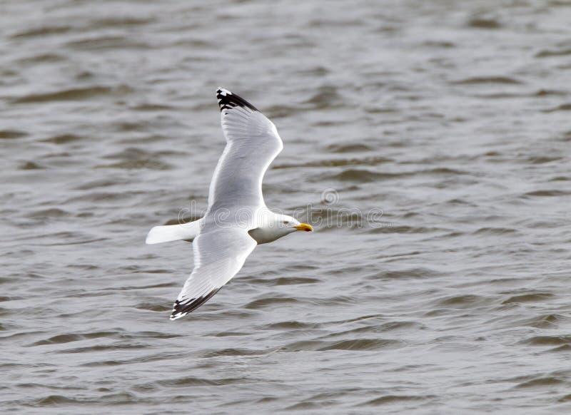 Zilvermeeuw, Herring Gull, Larus argentatus. Zilvermeeuw in de vlucht; Herring Gull in flight stock photography