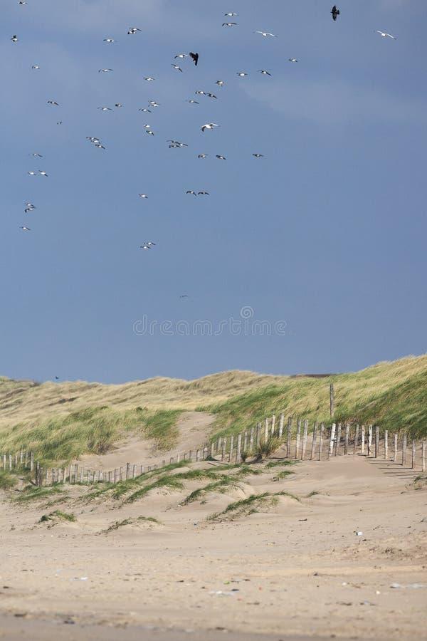 Zilvermeeuw, Herring Gull, Larus argentatus. Herring Gull (Larus argentatus) flock flying over dunes at Katwijk aan Zee stock photos