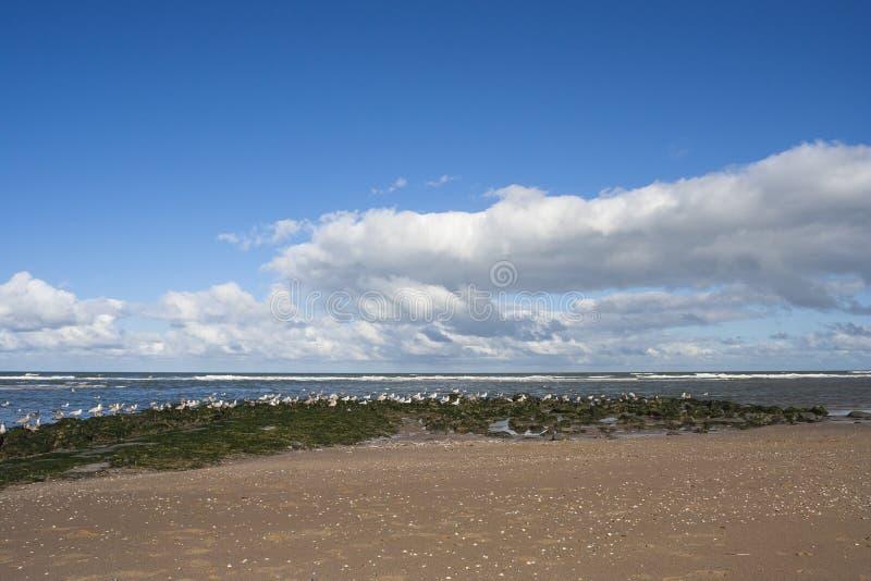 Zilvermeeuw, Herring Gull, Larus argentatus. Herring Gull (Larus argentatus) flock resting at beach of Katwijk aan Zee royalty free stock photo