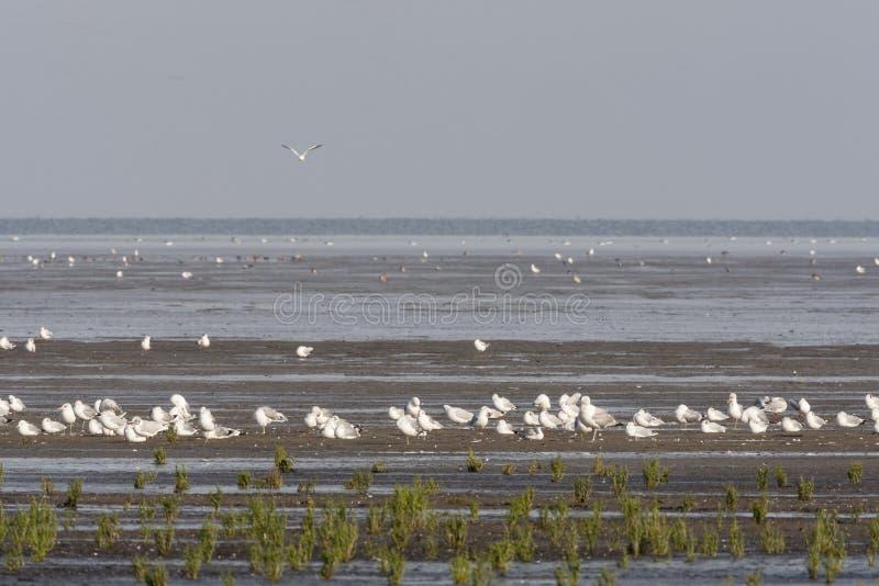 Zilvermeeuw, Herring Gull, Larus argentatus. Zilvermeeuw groep rustend; Herring Gull flock resting stock photos