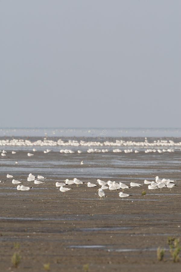 Zilvermeeuw, Herring Gull, Larus argentatus. Zilvermeeuw groep in Westhoek; Herring Gull flock at Westhoek royalty free stock photos