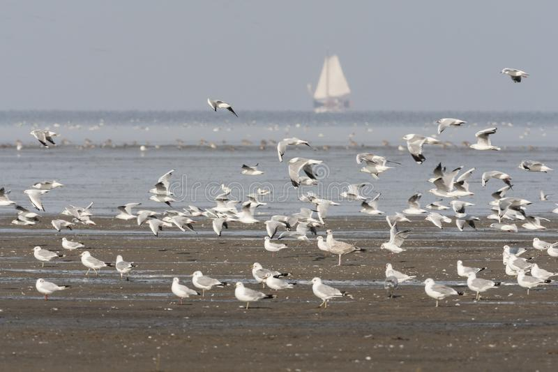 Zilvermeeuw, Herring Gull, Larus argentatus. Zilvermeeuw groep in Westhoek; Herring Gull flock at Westhoek royalty free stock images
