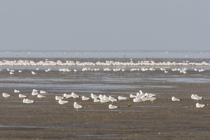 Zilvermeeuw, Herring Gull, Larus argentatus. Zilvermeeuw groep in Westhoek; Herring Gull flock at Westhoek stock images