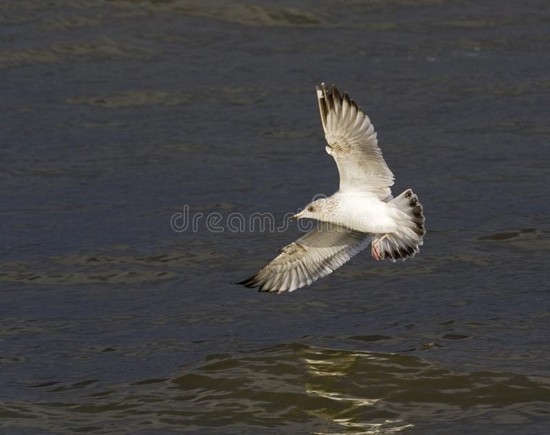 Zilvermeeuw, Herring Gull, Larus argentatus. Immature Herring Gull (Larus argentatus) landing on the water stock photo
