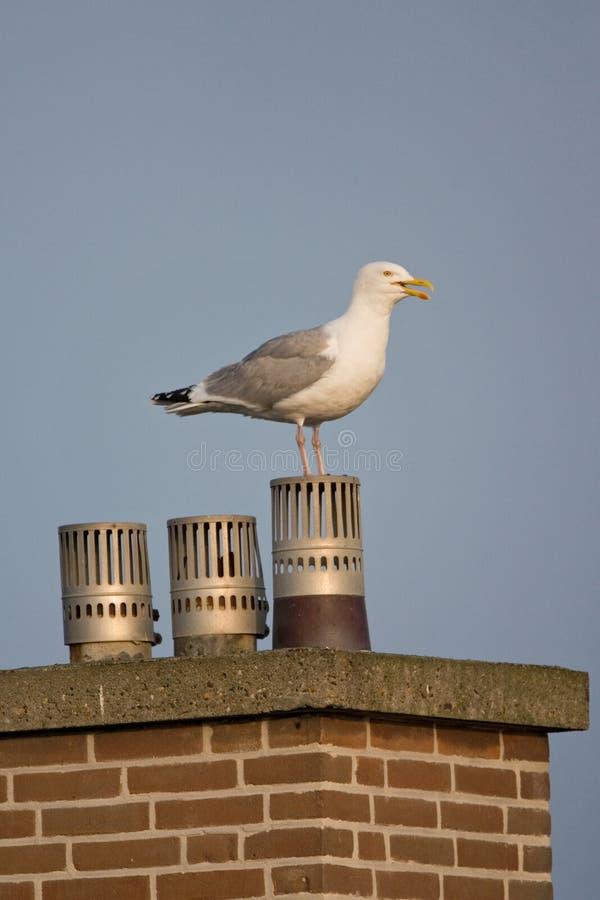 Zilvermeeuw, Herring Gull, Larus argentatus. Zilvermeeuw op schoorsteen; Herring Gull on chimney royalty free stock photography