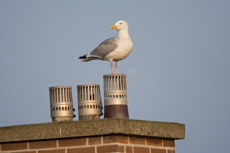 Zilvermeeuw, Herring Gull, Larus argentatus. Zilvermeeuw op schoorsteen; Herring Gull on chimney royalty free stock images