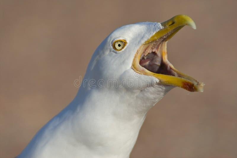 Zilvermeeuw, Herring Gull, Larus argentatus. Portret Zilvermeeuw roepende volwassen vogel; close-up Herring Gull adult calling stock photography