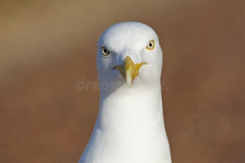 Zilvermeeuw, Herring Gull, Larus argentatus. Portret volwassen Zilvermeeuw starend in de camera; close-up Herring Gull adult staring in the lens stock photo