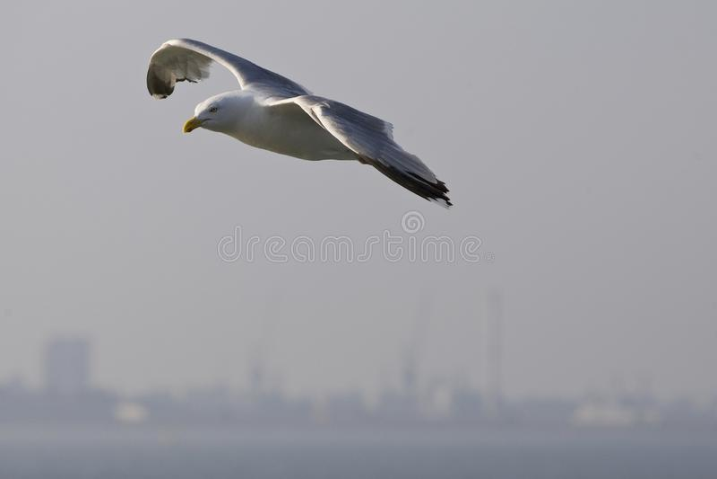 Zilvermeeuw, Herring Gull, Larus argentatus. Zilvermeeuw vliegend in haven Den Helder Nederland, Herring Gull in flight Netherlands royalty free stock images