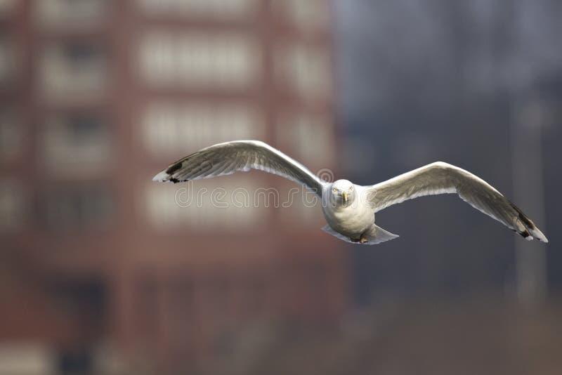 Zilvermeeuw, Herring Gull, Larus argentatus. Zilvermeeuw in vlucht boven een Amsterdamse gracht, Herring Gull in flight above a Dutch kanal royalty free stock photos