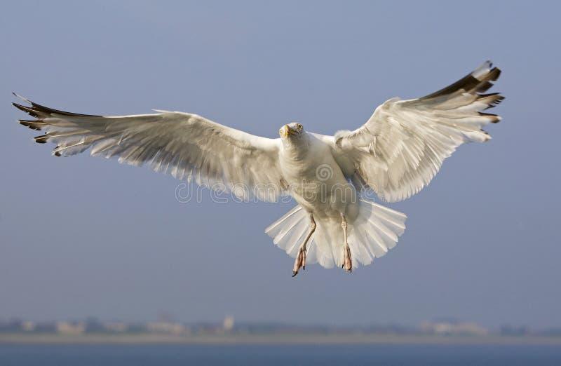 Zilvermeeuw, Herring Gull, Larus argentatus. Zilvermeeuw in vlucht, Herring Gull in flight royalty free stock photography