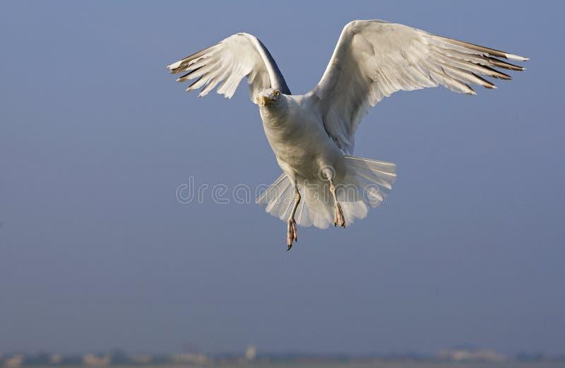 Zilvermeeuw, Herring Gull, Larus argentatus. Zilvermeeuw in vlucht, Herring Gull in flight stock image