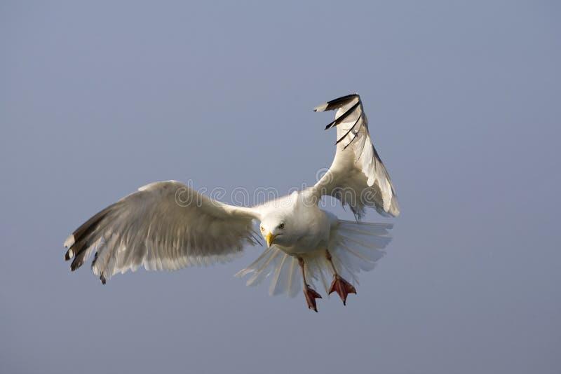 Zilvermeeuw, Herring Gull, Larus argentatus. Zilvermeeuw in vlucht, Herring Gull in flight stock photos