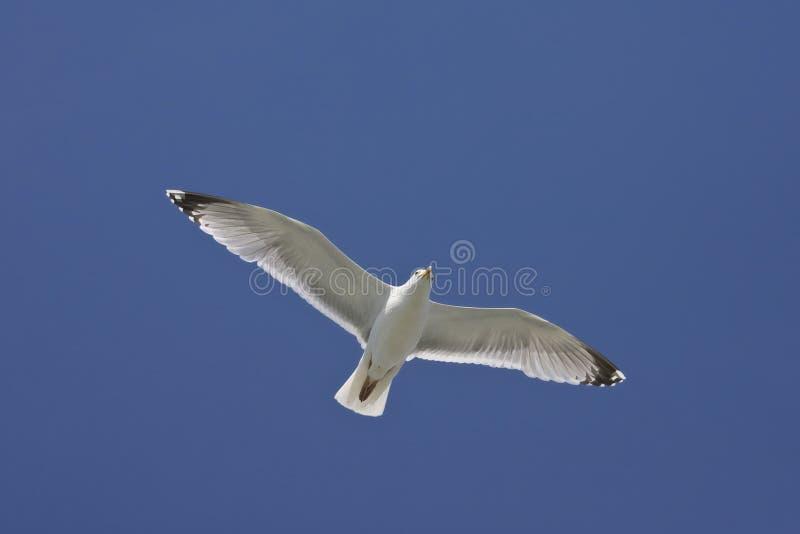 Zilvermeeuw, Herring Gull, Larus argentatus. Zilvermeeuw in vlucht tegen blauwe lucht; Herring Gull in flight against blue sky royalty free stock images