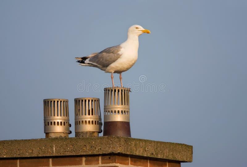 Zilvermeeuw, Herring Gull, Larus argentatus. Zilvermeeuw zittend op een dak in Katwijk; Herring Gull perched on a roof in Katwijk (Netherlands royalty free stock image