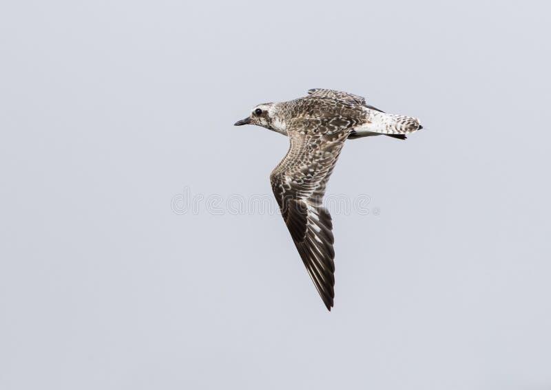 Zilverplevier, Grey Plover, squatarola del Pluvialis fotografia stock libera da diritti