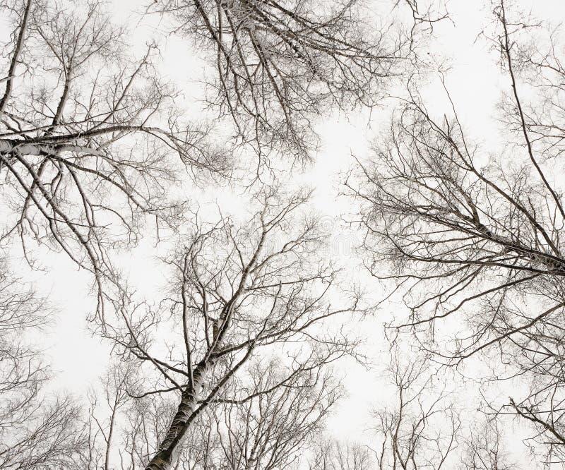 Zim brzozy obrazy royalty free