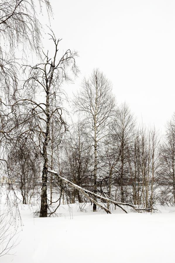 Zim nagie brzozy w białej łące zakrywali śnieg obrazy royalty free