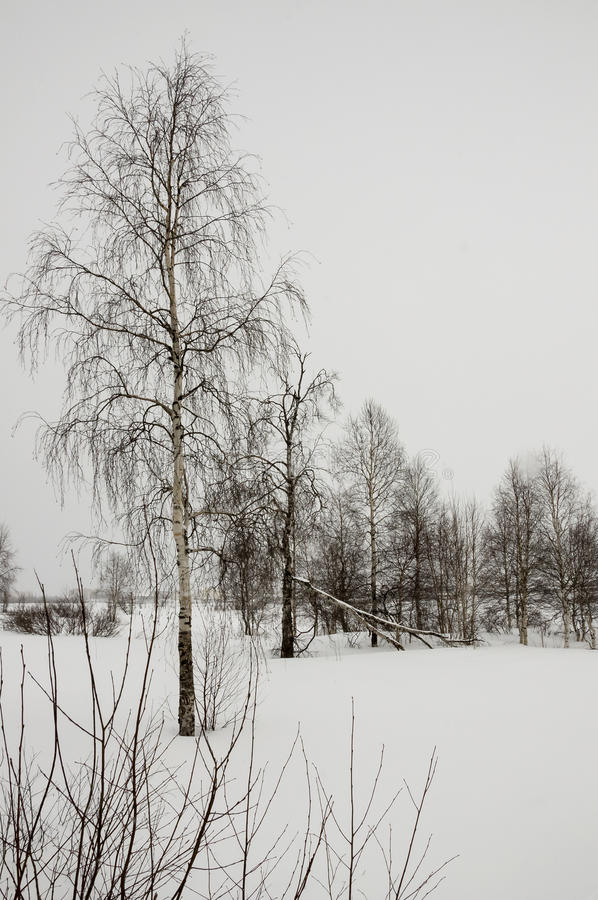 Zim nagie brzozy w białej łące zakrywali śnieg zdjęcia royalty free