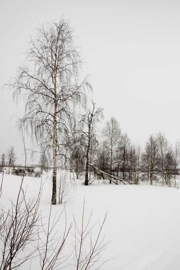 Zim nagie brzozy w białej łące zakrywali śnieg obraz stock