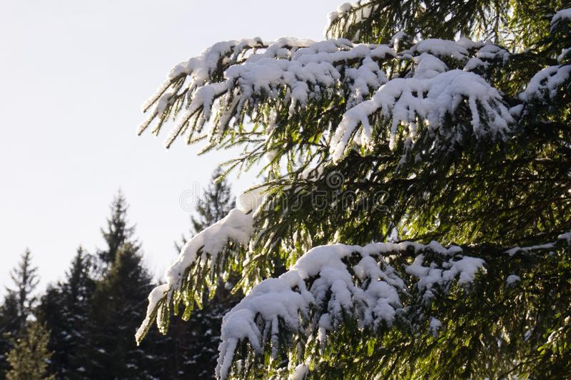 Zim przygody Śnieżni lasowi Carpathians Ukraina obraz stock