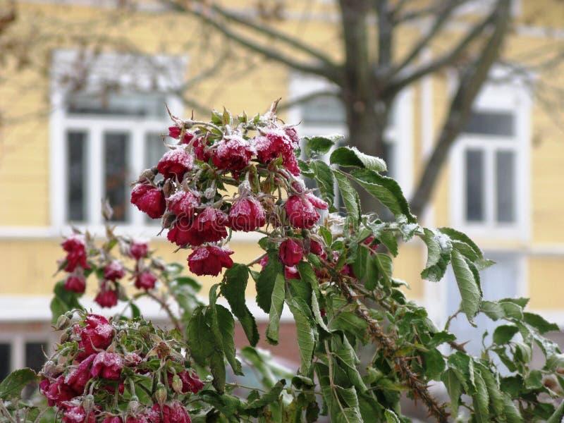Zim róże zdjęcie royalty free