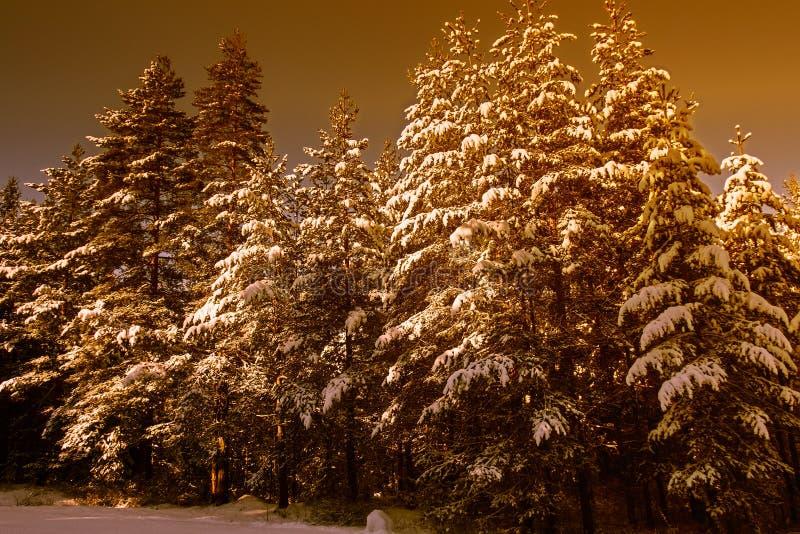 Zim złote sosny zakrywać śniegiem zdjęcie royalty free