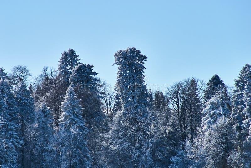 Zima śnieżny las na tle czysty niebieskie niebo Lago-Naki Główna Kaukaska grań, Rosja zdjęcie stock