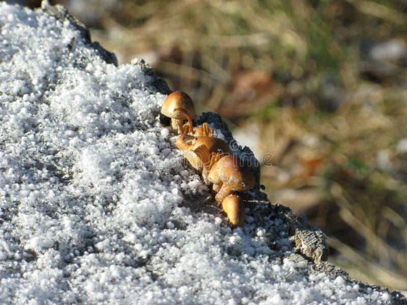Zima śnieg i pieczarki trochę obraz royalty free