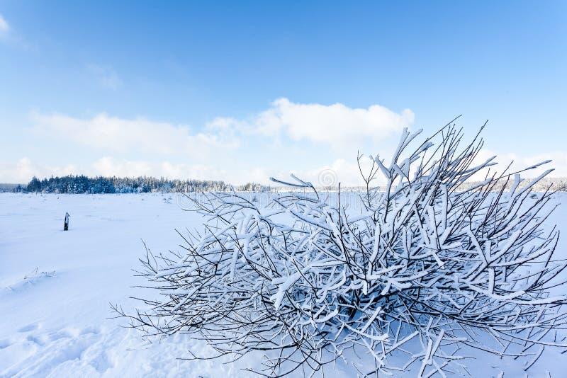 Zima śnieg rozgałęzia się krzaka, Wysocy Fens, Belgia zdjęcia royalty free