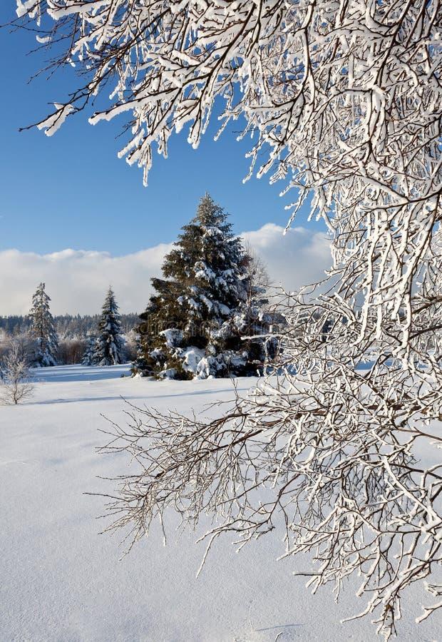 Zima śniegu sosna obrazy royalty free