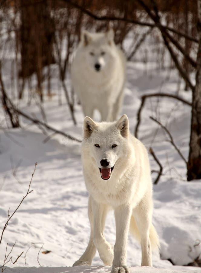 zima arktyczni wilki fotografia stock