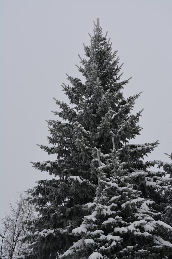 Zima chmurz?cy dzie? Wielki jedlinowy drzewo zakrywający śniegiem obraz stock