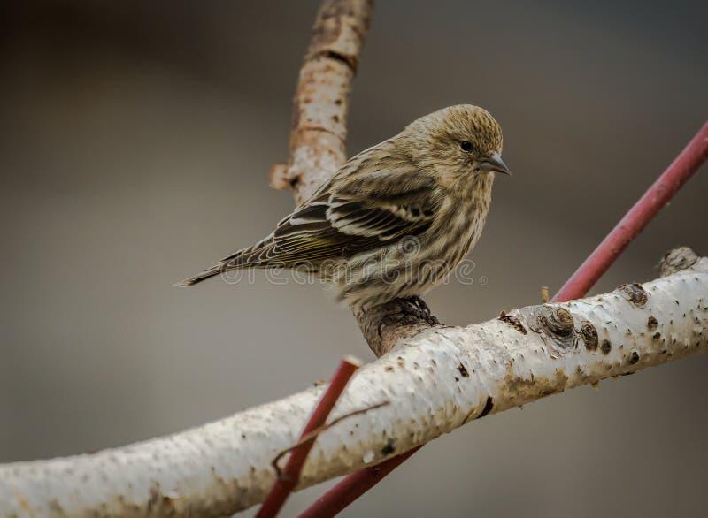 Zima czasu brzozy drzewa sosny czyżyk obrazy royalty free
