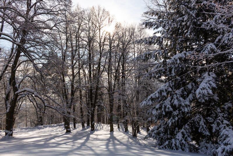 Zima deciduous las na Grudnia mgłowym ranku fotografia royalty free