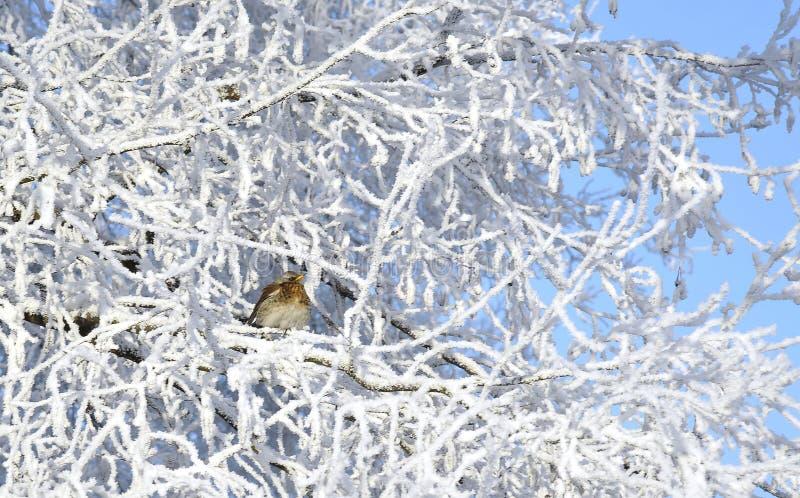 Zima. Hoarfrost. Wróbel siedzi na gałąź. obraz stock