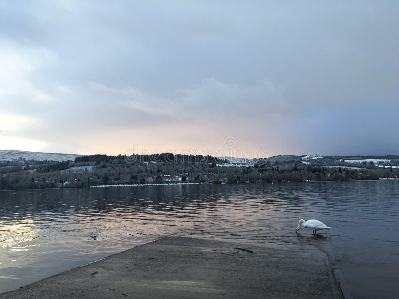Zima jezioro z łabędź zdjęcie royalty free