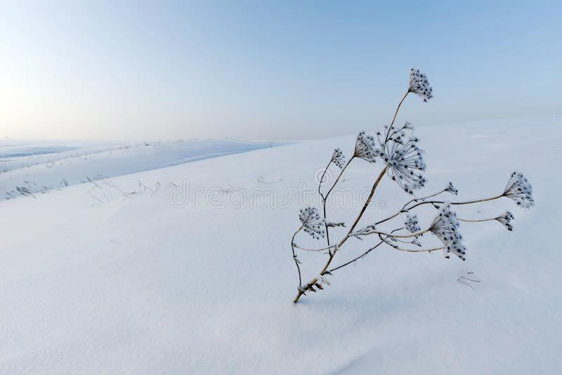 Zima krajobraz śnieżny opustoszały bielu pole z suchą rośliną na pierwszoplanowym i błękitnym zimnym niebie obraz royalty free