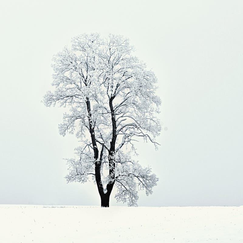 Zima krajobraz - mroźni drzewa w lasowej naturze zakrywającej z śniegiem Piękny sezonowy naturalny tło zdjęcie royalty free