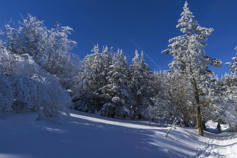 Zima krajobraz Vitosha góra z śniegiem zakrywał drzewa, Sofia miasta region, Bułgaria obraz stock
