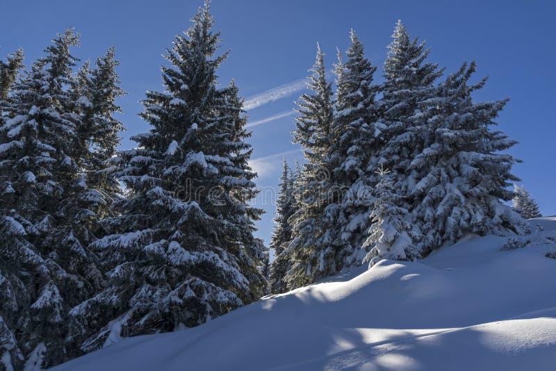 Zima krajobraz Vitosha góra z śniegiem zakrywał drzewa, Sofia miasta region, Bułgaria zdjęcia royalty free
