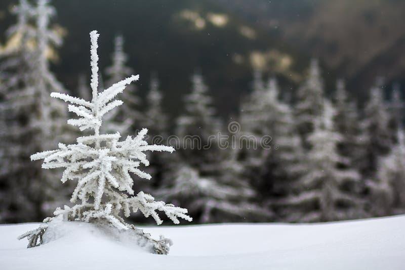 Zima krajobraz z śnieg zakrywającą małą sosną zdjęcie stock
