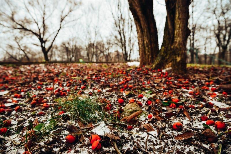 Zima krajobraz z głogowymi czerwonymi jagodami na śniegu upadek pierwszy śnieg Piękny romantyczny park z drzewami, liście, ziemia zdjęcia stock