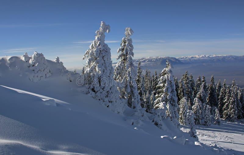 Zima krajobraz z jedlinowych drzew lasem zakrywającym ciężkim śniegiem w Postavaru górze, Poiana Brasov kurort, zdjęcia royalty free