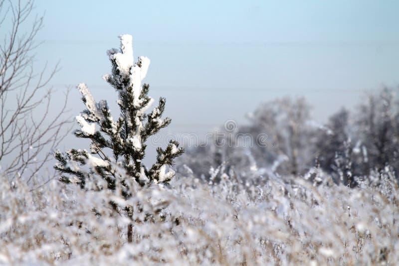 Zima las, mały jedlinowy drzewo, śnieg, świerczyna, zima obraz stock